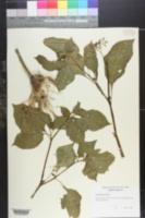 Image of Solanum glaucum