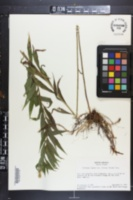 Solidago rugosa var. cronquistiana image