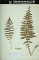 Amauropelta opposita image