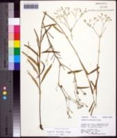 Euphorbia discoidalis image