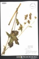 Nabalus albus image