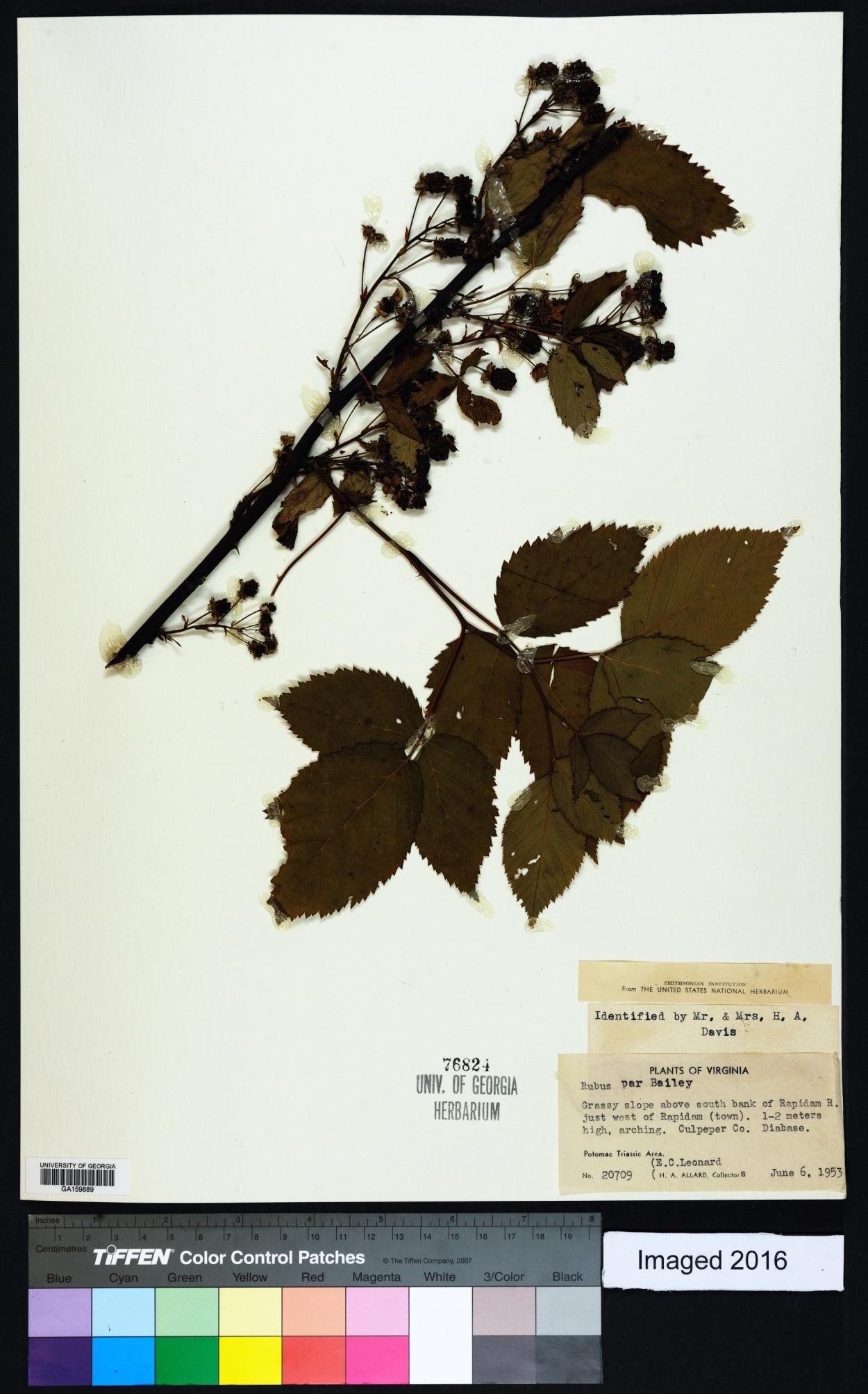 Rubus par image