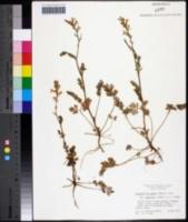 Capnoides micranthum image