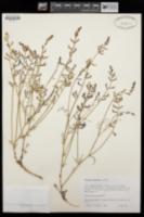 Astragalus nidularius image
