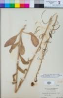 Caulanthus heterophyllus image