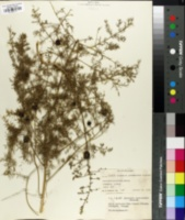 Image of Asparagus pseudoscaber