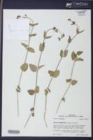 Matelea cynanchoides image