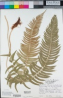 Polystichum imbricans image
