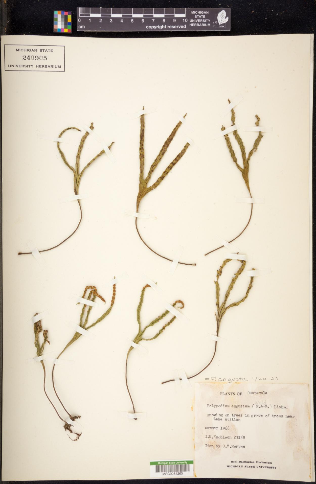 Polypodium angustatum image