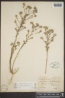 Eriastrum sapphirinum image