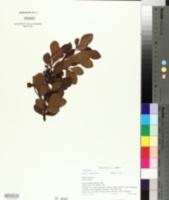 Image of Searsia lucida