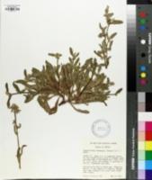 Image of Plagiobothrys harknessii
