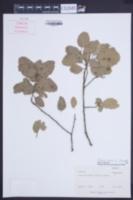 Quercus suber image