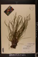 Agrostis mertensii image