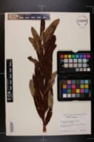 Image of Acrostichum danaeifolium