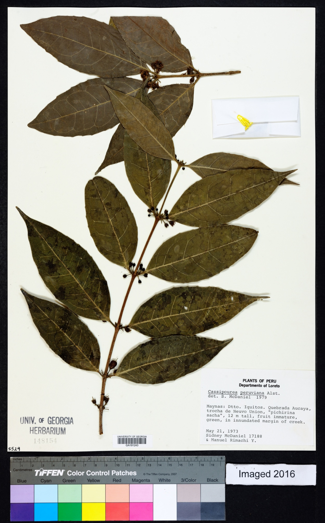 Cassipourea peruviana image