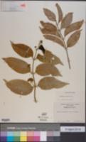 Image of Aegiphila elata