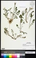 Image of Cardamine glacialis
