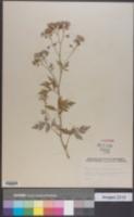 Phacelia bipinnatifida image