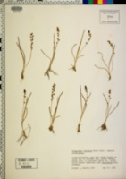 Triglochin concinna image