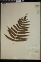 Cyclosorus cyatheoides image