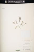 Adenophorus tenellus image