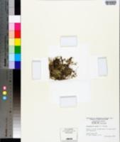 Selaginella apoda image
