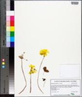 Oxalis pes-caprae image