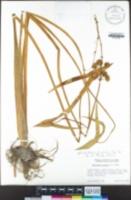 Sagittaria longiloba image