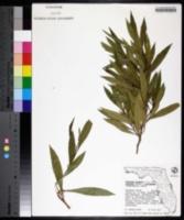 Dodonaea viscosa var. vulgaris image