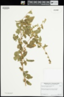 Malvastrum bicuspidatum image