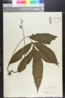 Bolbitis auriculata image