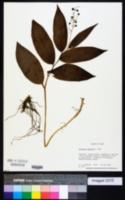 Image of Maianthemum japonicum