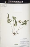 Image of Lindsaea bouillodii