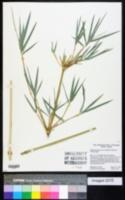 Bambusa glaucescens image
