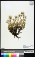 Helichrysum ellipticifolium image