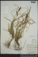 Carex picta image
