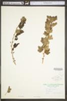 Ribes uva-crispa image