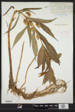 Lysimachia thyrsiflora image