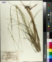 Image of Setaria lindenbergiana