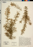 Image of Acacia riceana