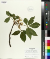 Image of Aesculus × marylandica