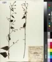 Image of Celosia nitida