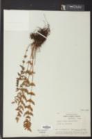 Woodsia obtusa image