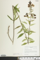 Image of Aureolaria laevigata