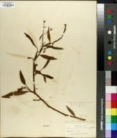 Ranunculus ambigens image