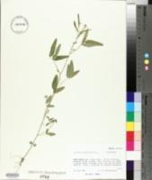Desmodium neomexicanum image