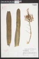 Image of Aechmea miniata