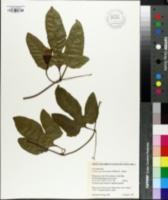 Image of Cionosicyos macranthus