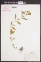 Cuphea carthagenensis image